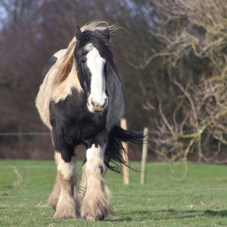 Piebald draft-type horse in field