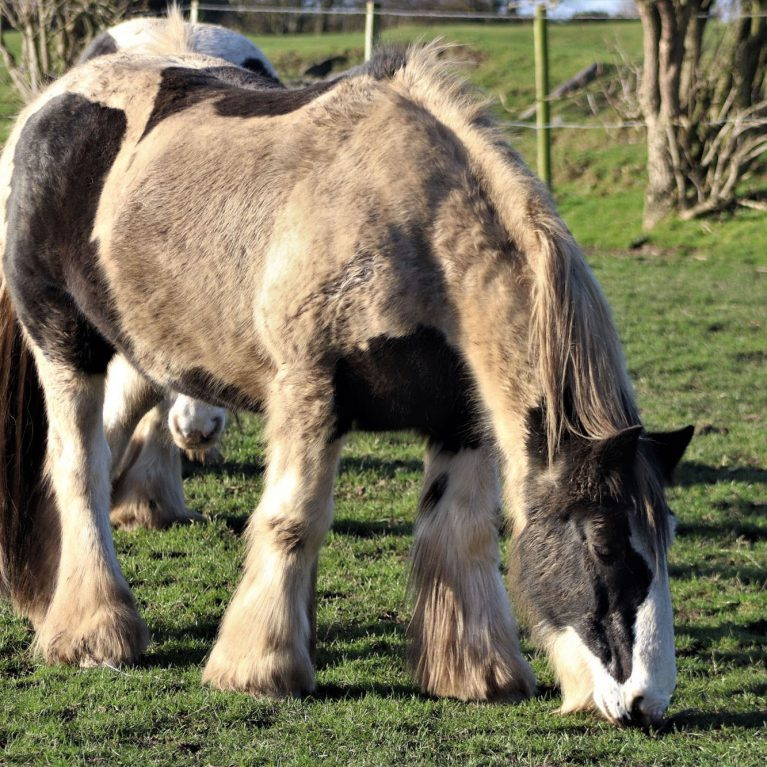 Piebald draft-type horses grazing