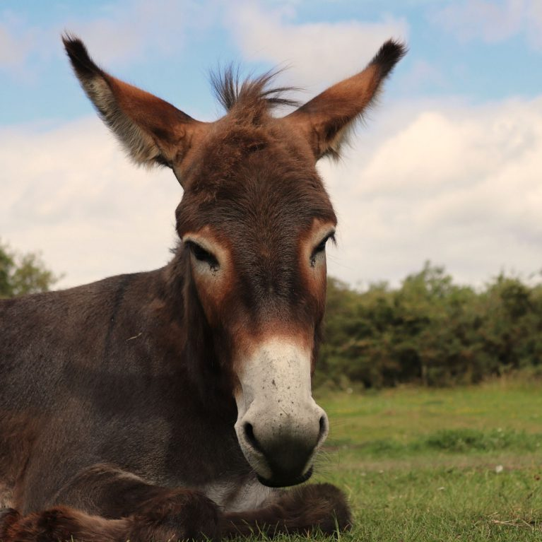 Portrait of brown donkey