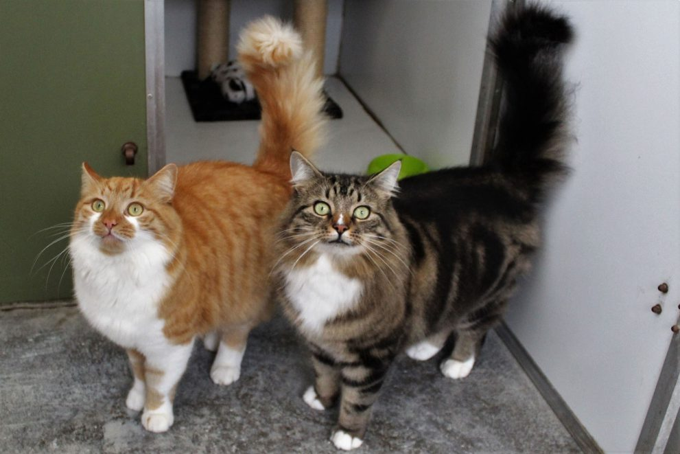 Ginger/white and tabby/white longhaired cats