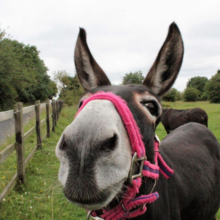 Curious donkey looks at camera