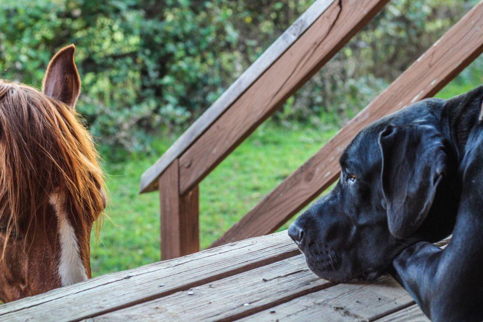 Black dog looking at a horse