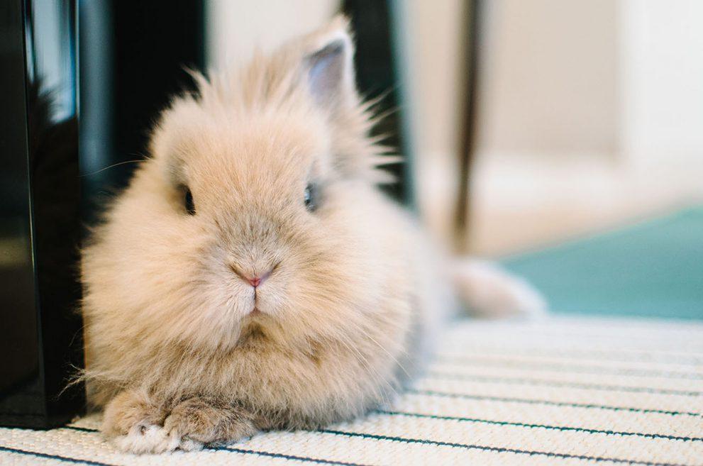 Tan lionhead rabbit