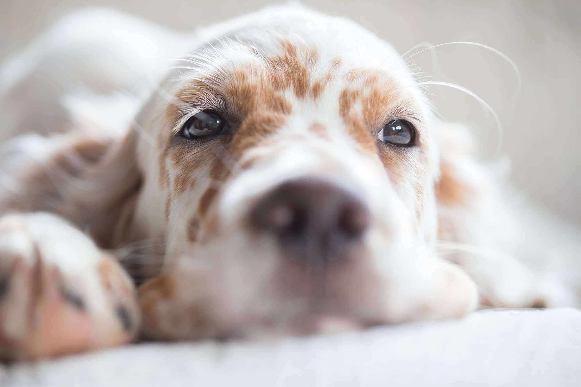 Portrait of white and tan puppy laying down