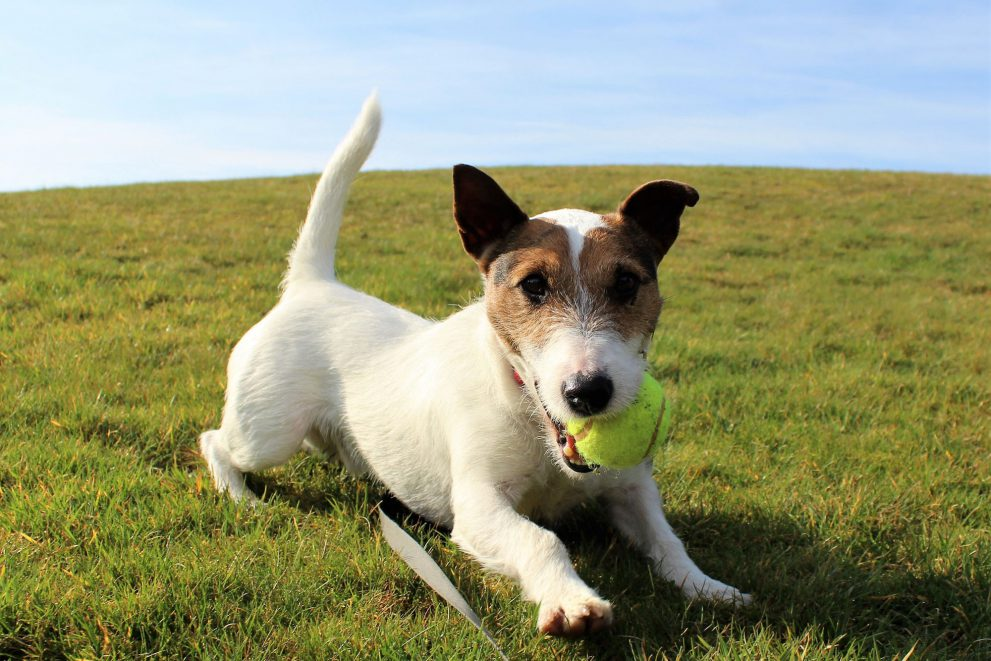 Terrier playing with a ball